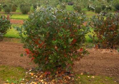 Купить крупномеры питомник Черноплодная рябина
