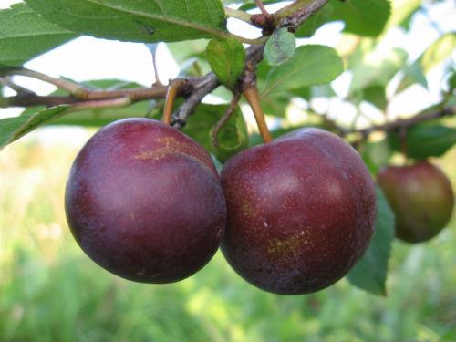 Сливо-вишневый гибрид «Опата»