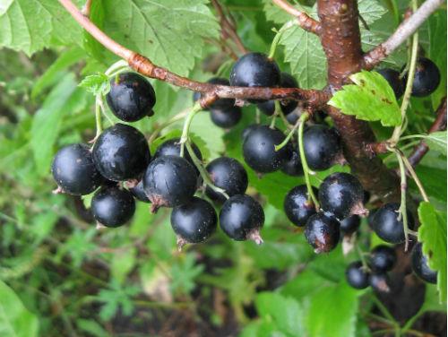 Смородина черная «Аннади»