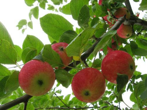 Яблоня «Алтайское румяное»