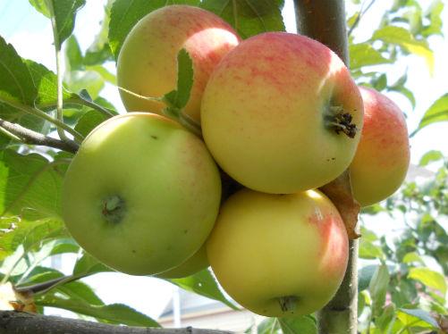 Яблоня «Ардик»