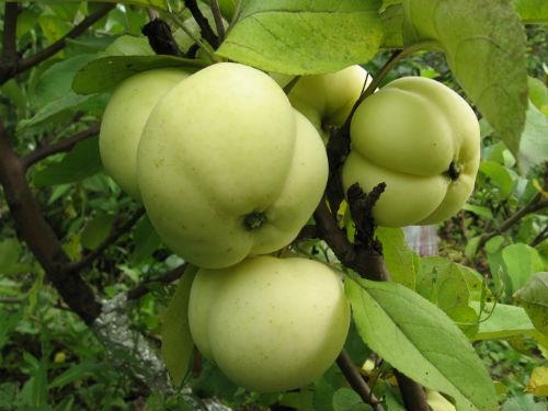 Яблоня «Белый налив»