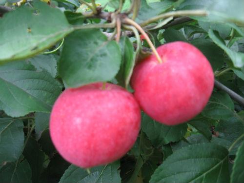 Яблоня «Горно-Алтайское»