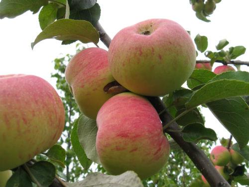 Яблоня «Подарок садоводу»
