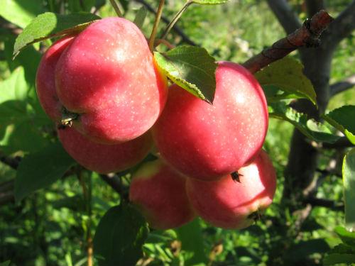 Яблоня «Жар-птица»