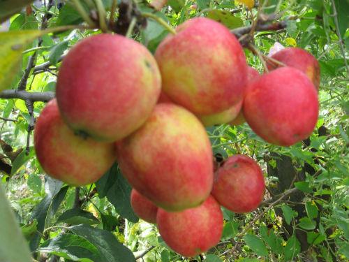 Яблоня «Жебровское»