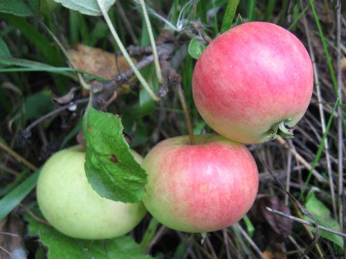 Яблоня «Жигулёвское»