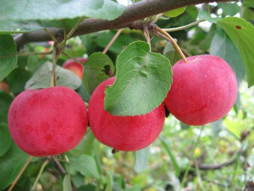 Яблоня «Зимний шафран»