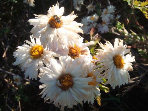 Хризантема «Умка»