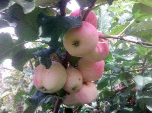 Яблоня «Неженка»