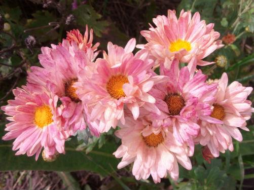 Хризантема  «Розовая мечта» купить