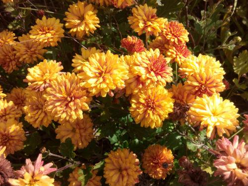 Хризантема «Рыжик»