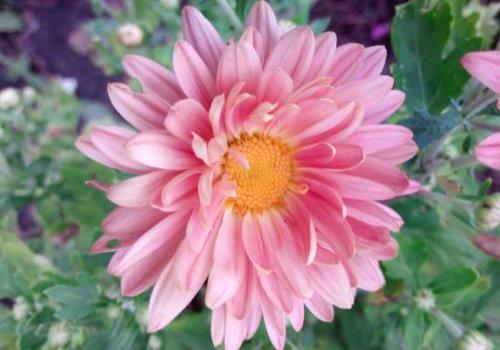Хризантема  «Розовая мечта»