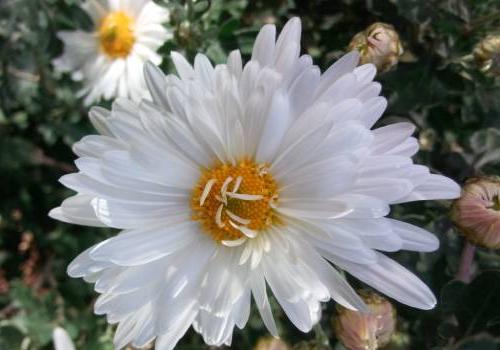 Хризантема «Умка» купить