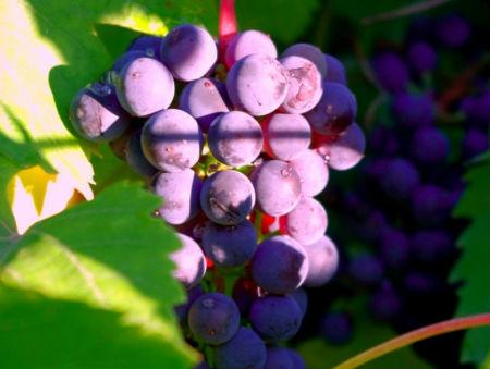 Виноград «Башкирский ранний»