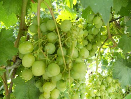 Виноград «Жемчуг Саба»